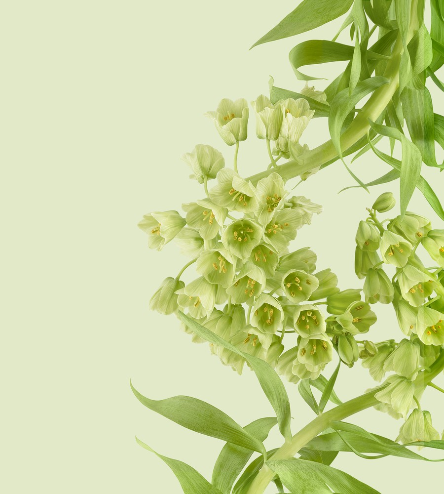 pixel 6 pro persian lily light thetechbasket.com pre
